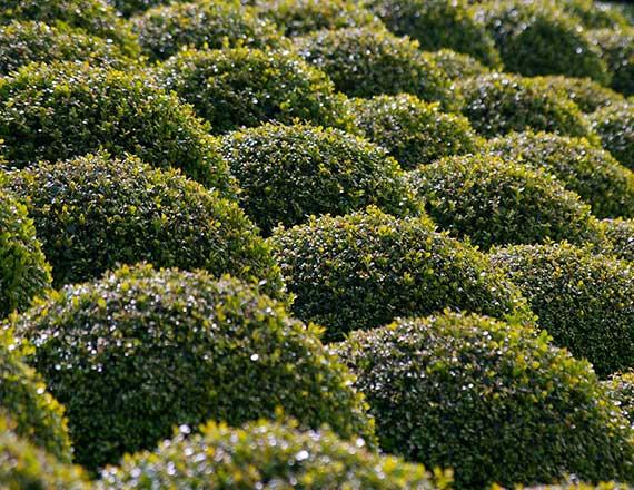 Arbusti e piante da siepe vivaibissacco for Arbusti da siepe